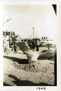 Beached Whale photographs, Provincetown 1946